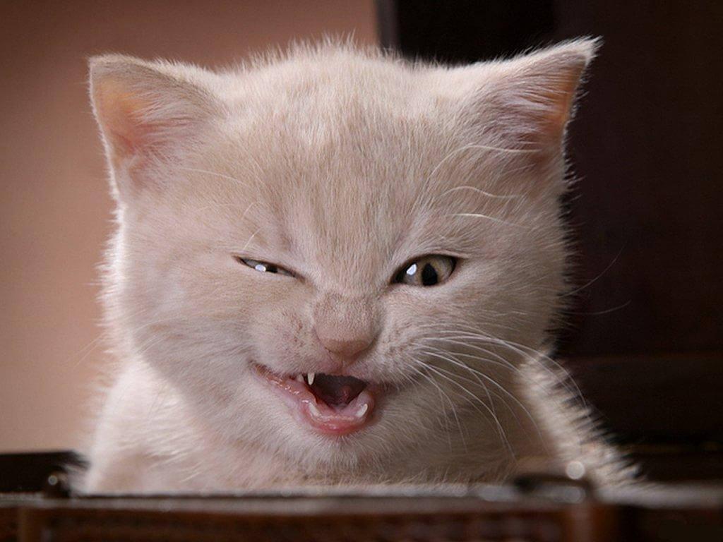Gato fazendo careta